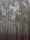 Foresta nebbiosa dell'albero di eucalyptus Immagine Stock Libera da Diritti