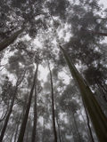 Foresta nebbiosa dell'albero di gomma Fotografia Stock Libera da Diritti