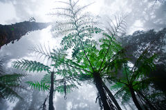 Foresta nebbiosa della montagna del supporto Kinabalu, Immagini Stock Libere da Diritti