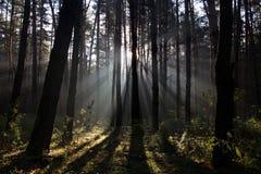 Foresta nebbiosa di mattina Immagine Stock