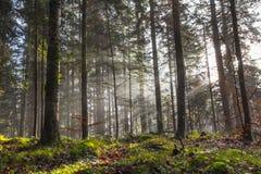 Foresta nebbiosa di mattina Immagini Stock Libere da Diritti