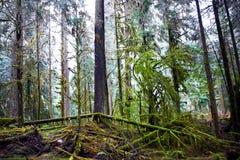 Foresta nebbiosa scura Fotografie Stock