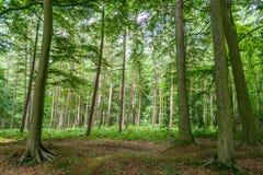 Foresta nel Belgio Europa Fotografia Stock