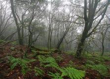 Foresta nel parco nazionale di Garajonay, La Gomera Immagine Stock