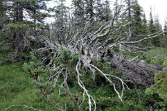 Foresta nel parco nazionale di Roltdalen e di Skarvan Fotografia Stock
