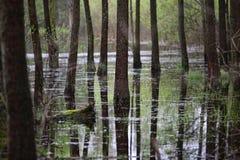 Foresta nell'acqua e nella sua riflessione Fotografie Stock
