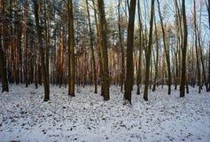 Foresta nell'inverno con neve Immagini Stock