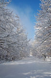 Foresta nell'orario invernale Immagini Stock Libere da Diritti