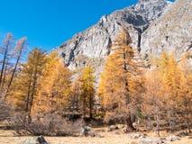 Foresta nella caduta - Mont Blanc, Courmayer, Val d'Aosta, Italia del larice Immagini Stock