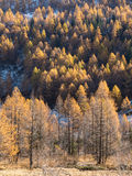 Foresta nella caduta - Mont Blanc, Courmayer, Val d'Aosta, Italia del larice Fotografia Stock Libera da Diritti