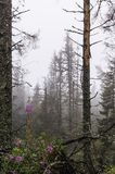 Foresta nella nebbia Fotografia Stock Libera da Diritti