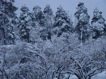 Foresta nella neve, foresta, un parco fotografia stock