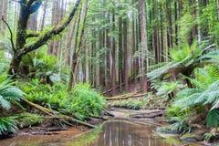 Foresta nelle gamme di Otways lungo la grande strada dell'oceano, Australia del faggio Immagini Stock