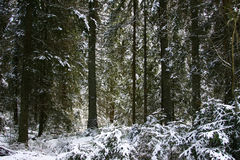 Foresta nera in inverno immagine stock