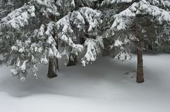 Foresta nevicata Fotografia Stock Libera da Diritti