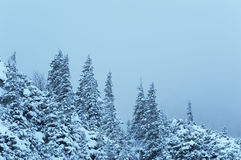 Foresta nevicata Fotografie Stock