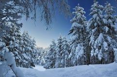 Foresta nevicata dell'abete Fotografia Stock Libera da Diritti