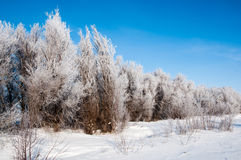 Foresta nevicata nel chiaro giorno di inverno Fotografia Stock Libera da Diritti