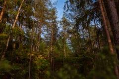 Foresta norvegese con i pini Fotografia Stock
