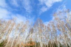 Foresta nuda alta degli alberi di betulla Fotografie Stock Libere da Diritti