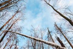 Foresta nuda di inverno sul fondo del cielo blu. Immagini Stock Libere da Diritti