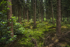 Foresta olandese dell'abete-abete a penombra Fotografie Stock