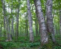 Foresta ombreggiata della latifoglia della betulla con le foglie verdi nel parco di stato della regione selvaggia di montagne del fotografia stock