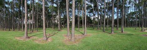 Foresta panoramica del pino Fotografie Stock Libere da Diritti