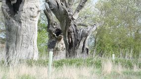 Foresta petrificata antica di driadi della quercia che gode del giorno che celebra 2000 anni 5 immagine stock libera da diritti
