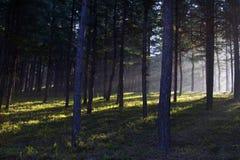Foresta in pieno di sole Immagini Stock
