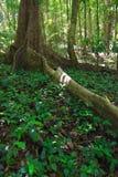 Foresta pluviale Immagini Stock