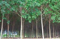 Foresta pluviale dell'albero di gomma Fotografie Stock