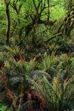 Foresta pluviale densa con le felci e gli alberi Fotografie Stock