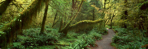 Foresta pluviale di Hoh, Fotografia Stock Libera da Diritti