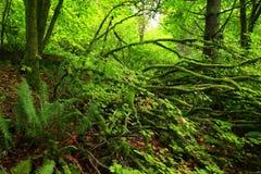 Foresta pluviale di nord-ovest pacifica Fotografia Stock