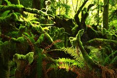 Foresta pluviale di nord-ovest pacifica Immagine Stock Libera da Diritti
