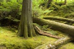 Foresta pluviale e sottobosco temperati Fotografie Stock