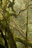 Foresta pluviale nebbiosa Fotografie Stock Libere da Diritti