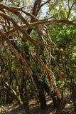 Foresta pluviale nell'isola di Gomera della La - Spagna color giallo canarino Fotografia Stock