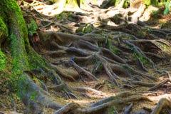 Foresta pluviale nell'isola di Vancouver, Columbia Britannica, Canada Fotografia Stock