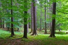 Foresta primaria Fotografia Stock