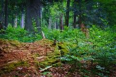 Foresta primaria nelle alpi Immagini Stock Libere da Diritti