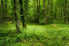 Foresta profonda degli alberi del muschio con erba Fotografia Stock