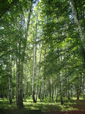 Foresta russa Fotografia Stock