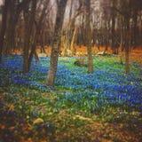 Foresta rustica di Bluebell Immagini Stock