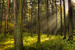 Foresta scura Immagini Stock
