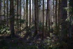 foresta scura con i tronchi di albero che gettano le ombre sulla terra fotografia stock libera da diritti
