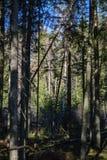 foresta scura con i tronchi di albero che gettano le ombre sulla terra fotografia stock