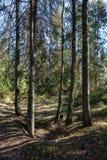 foresta scura con i tronchi di albero che gettano le ombre sulla terra immagini stock libere da diritti
