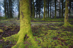 Foresta scura misteriosa Immagine Stock